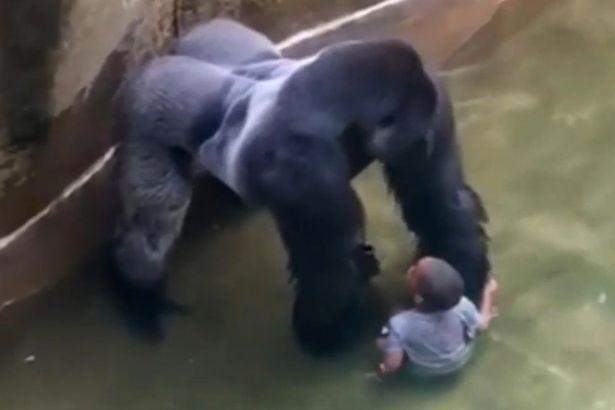 VID-Harambe-a-male-silverback-gorilla-at-Cincinnati-Zoo